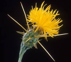 Yellow Starthistle Management