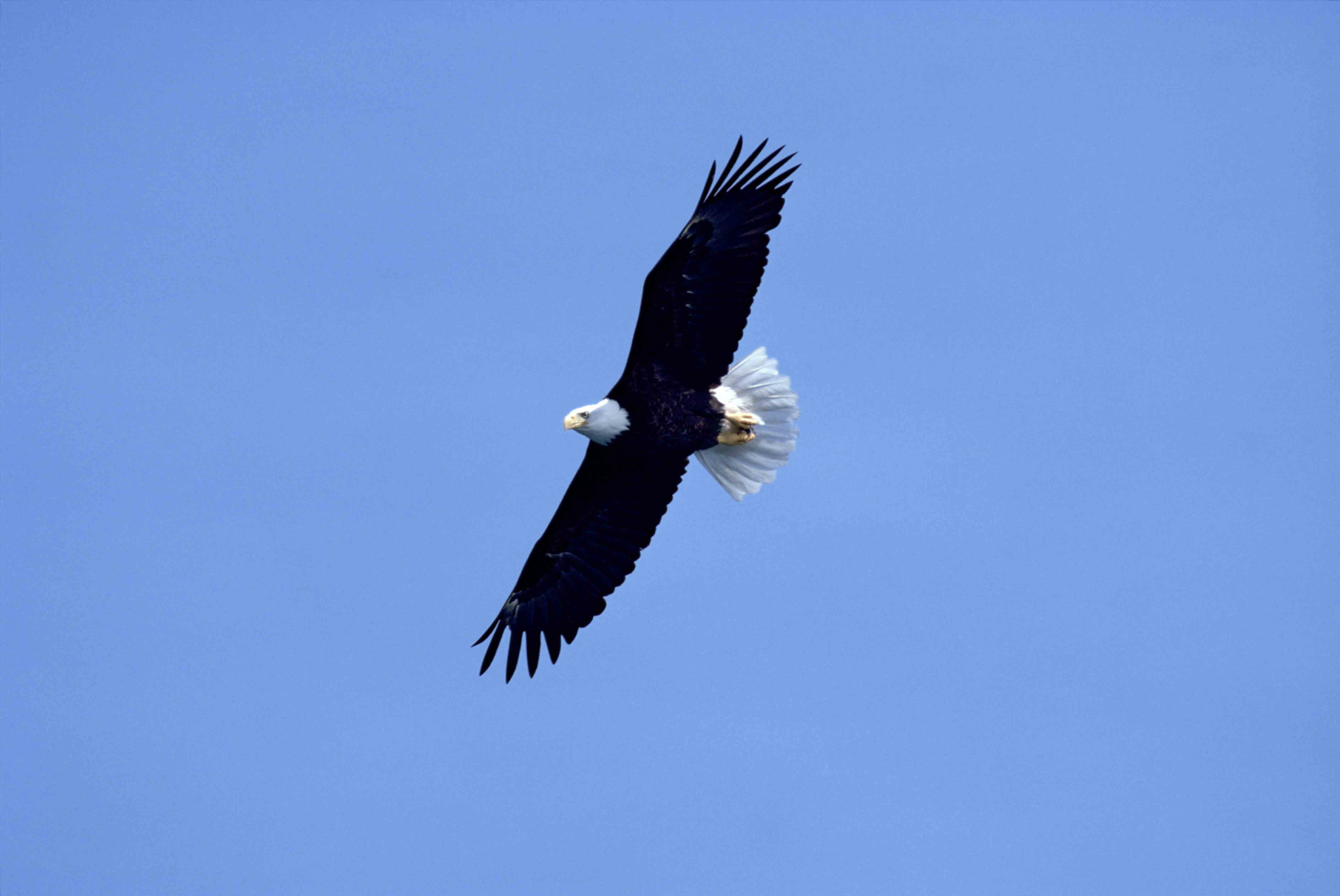 A bald eagle flies against a blue sky